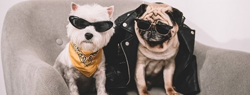 two dogs sitting in leather jackets and sunglasses